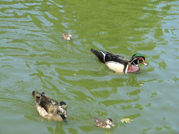 Hannah took this great photo of a charming little duck family. Look at 'em go!