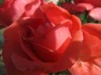 Grace B. - Campus Rose